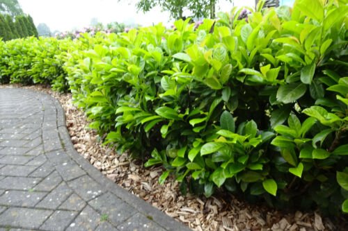 Kirschlorbeeren Kirschlorbeer Rotundifolia 15 St Heckenpflanzen 70-100cm