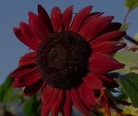 rote Riesen-Sonnenblume red Queen imposanter Blütenkopf mit Duftbeuteln /Sämerei