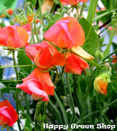 FLOWER 25 seeds PRINCE OF ORANGE SWEET PEA
