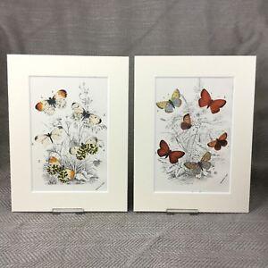 1897 Purple Edged Copper Butterfly Butterflies Antique Chromolithograph Prints