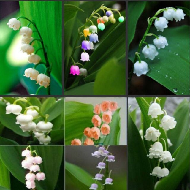 200pcs Convallaria Majalis Seeds 10 Colors Mixed Lily Of The