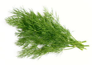 DILL-anethum-graveolens-50-seeds-HERB-spice