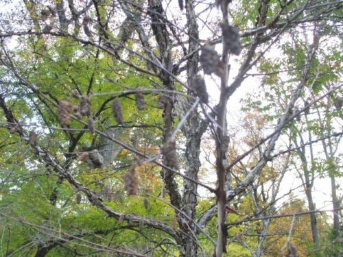 Betula dahuvica 30 DAHURIAN BIRCH SEEDS