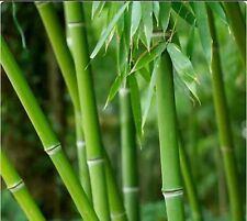 40 Seeds Small Green BAMBOO/ DENDROCALAMUS CALOSTACHYUS SEEDS