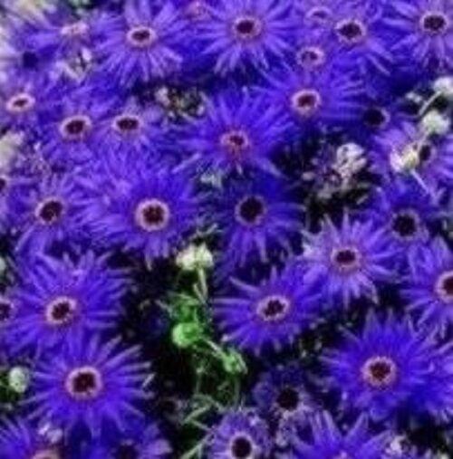 Brachycome - Blue Star - 250 Seeds