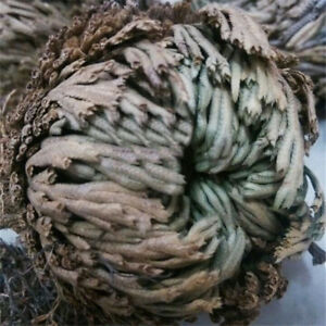 Rose-Of-Jericho-Dinosaur-Plant-Live-Resurrection-Plant-Air-Fern-Spike-Moss-Decor