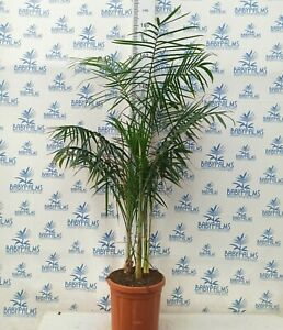 Chamaedorea radicalis grupo 3 plantas 130-140 cm, maceta 28 cm