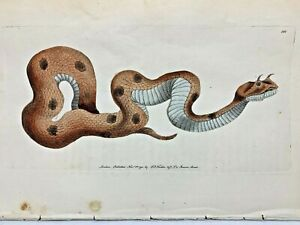 Horned-Viper-1783-RARE-SHAW-amp-NODDER-Hand-Colored-Copper-Engraving