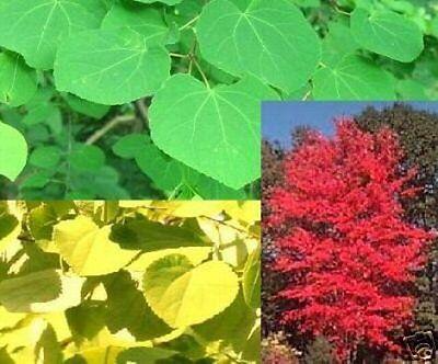 Winterharter Lebkuchenbaum Lebkuchenduft & Zierlaub Pflanzen, Sämereien & Zwiebeln