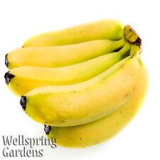 Manzano Apple Banana Plant Live Fruit Tree