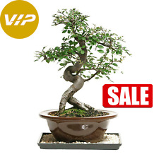 Chinese Elm Bonsai Outdoor//Indoor Large Beginner Bonsai Tree CE8003