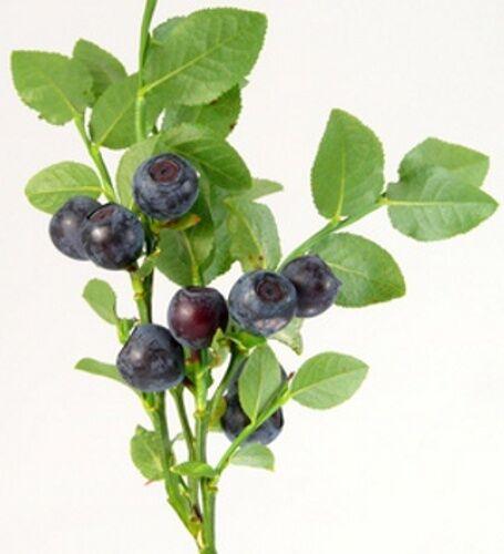 100 Samen Heidelbeere (Vaccinium myrtillus) Blaubeere leckere Früchte, Waldbeere