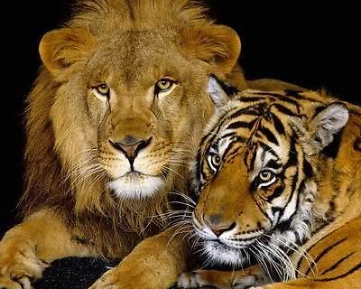 Tiger And Lion Art Poster Print New