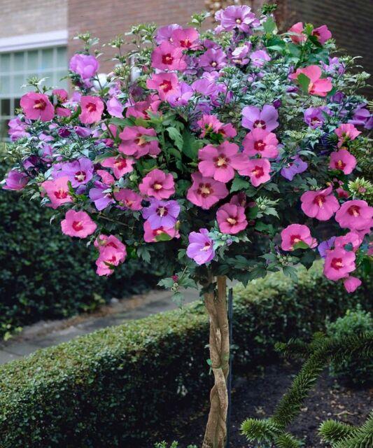 15 pink rose of sharon hibiscus perennial flower seeds ebay 15 pink rose of sharon hibiscus perennial flower seeds mightylinksfo