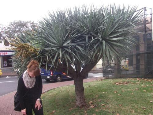 Jetzt aussäen als Zimmerpflanze und für draußen Saatgut Yucca torreyi-Palme