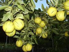 CITRONNIER DES 4 SAISONS variegata