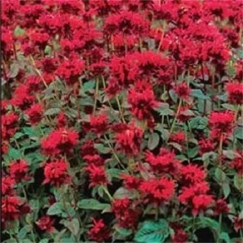 10 Panorama RED BEE BALM / MONARDA DIDYMA Oswego Tea Flower Seeds +Gift & CombSH