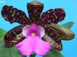 RON-Cattleya-Orchid-seedling-species-C-aclandiae-4N-3711