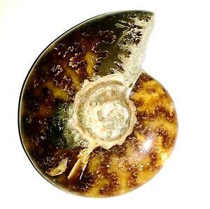 493ct-98-5g-Polished-Ammonite-Ammolite-w-Pyrite-Fossil-Shell-Madagascar-A21