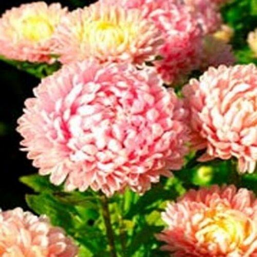 50 Seeds Aster Pink Duchess