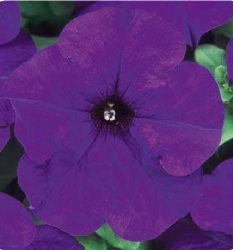 Petunia Seeds Dreams Midnight 200 Pelleted Seeds BULK SEEDS