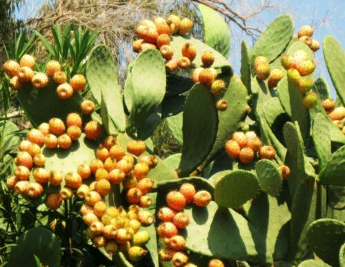 Opuntia ficus indica nopal edible cactus nopalea juice nopalina seed 50 SEEDS Y