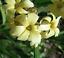 Yellow Mexican Satin Flower SISYRINCHIUM striatum 40 seeds Hardy perennial