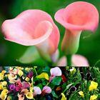100PCS Colorful Calla Lily Flower Seeds Rare Home Garden Plants Bonsai Decor