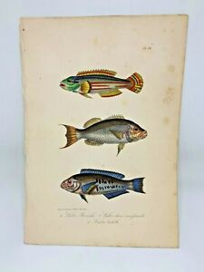 Fish Plate 81 Lacepede 1832 Hand Colored Natural History