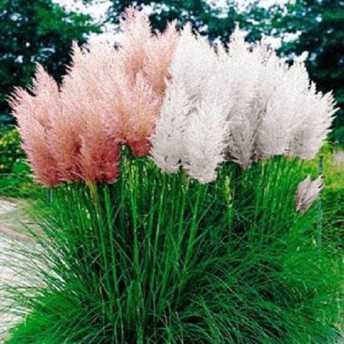 Pampas Grass Mix 500 Seeds Ornamental Grass Seeds