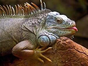 Animal-Lagarto-Reptil-Iguana-escalas-gran-impresion-del-arte-cartel-BB2973A