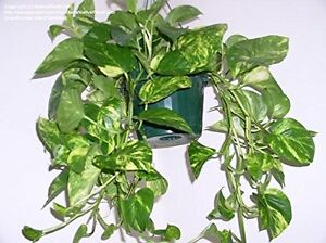 Indoor-Plant-House-or-Office-Plant-Hanging-Scindapsus-aureus-Devil-039-s-Ivy