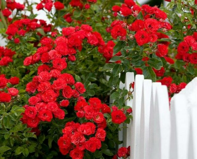 RARE DEEP RED CLIMBING ROSE! 15 SEEDS! COMB. S/H! SEE OUR STORE!