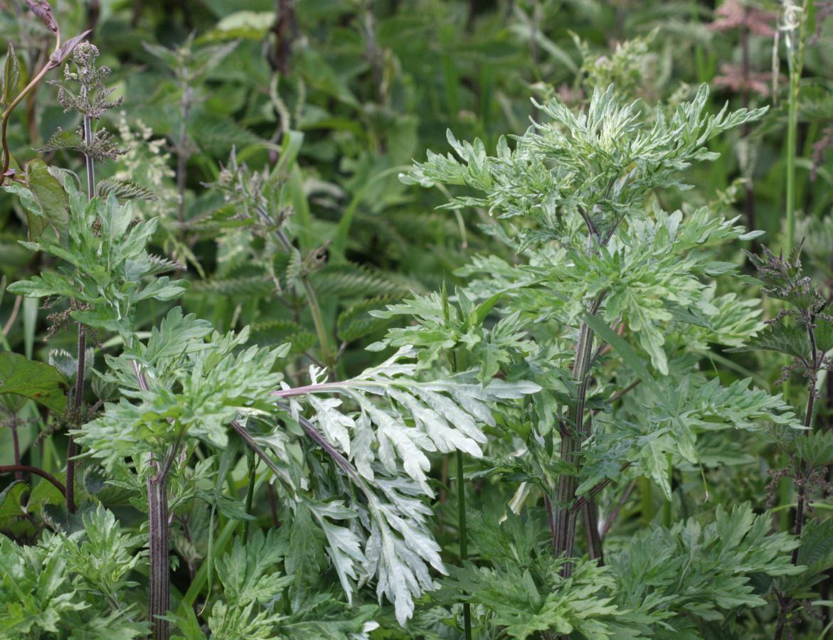 Mugwort - 800 seeds - Artemesia vulgaris - Herbal Wildflower