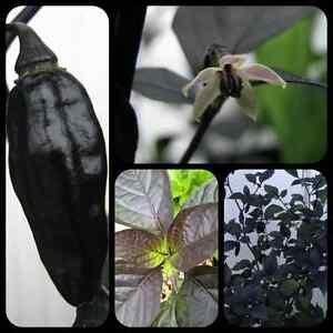 Pimenta-da-Neyde-schwarze-Chili-Raritaet-megascharfe-Chilli-mit-schwarzem-Laub