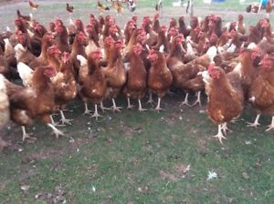Details about 24 Hybrid Chicken Fertile Hatching Eggs Good Layers For  Incubator Summer Deal!!
