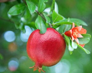 Vivaio Rosso Melograno : Melograno piante frutticole plantgest