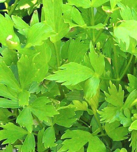 Lovage seeds-Non GMO-Open Pollinated-Medicinal. 200
