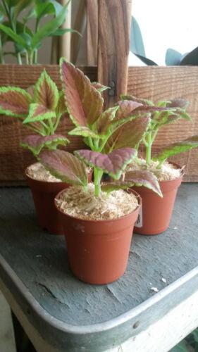 Plant Coléus Vert et Rose