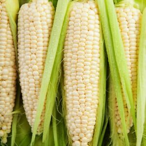 Silver Queen Sweet White Corn Seeds   Organic Untreated Vegetable Plant Garden