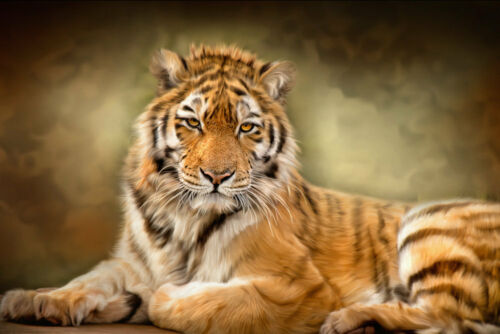 Modern Home Decor HD Prints Animals oil painting on canvas wall art tiger NTD188
