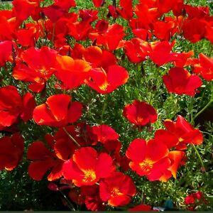 Flor-de-California-Poppy-Red-Chief-2000-Semillas-De-Flores