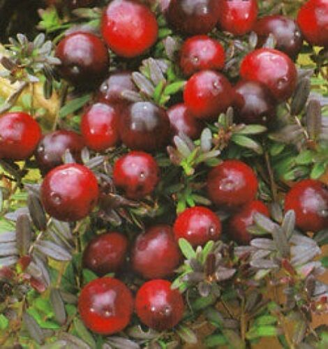RUSSIAN CRANBERRY FRUITS SEEDS HARDY WINTER HYBRID