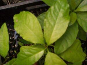 2 Tropical Almond, Almendra ROOTS Almond Plant Tree CATAPPA Tropical Almond