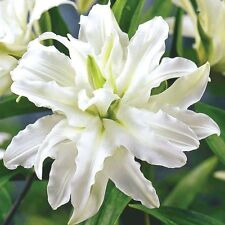 Pack x3 Double Flowering Lillium Lily ''Polar Star'' WPC Prins Bulbs/Tubers