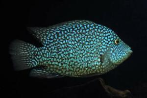 Electric-Blue-Carpintis-Live-Freshwater-Aquarium-Fish