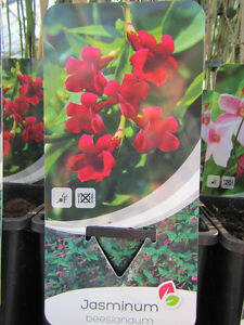 jasminum beesianum roter jasmin pflanze 80 100cm bis 15 c winterhart ebay. Black Bedroom Furniture Sets. Home Design Ideas