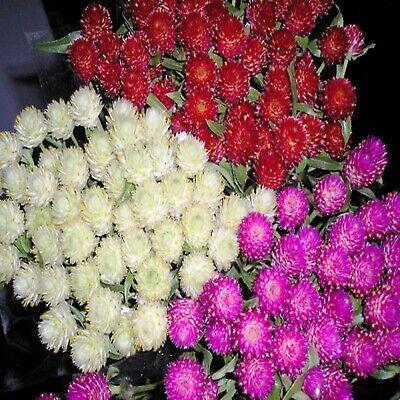 Heirloom Flower Seeds Very Unusual Flowers 50ct Globe Amaranth Seeds Salmon