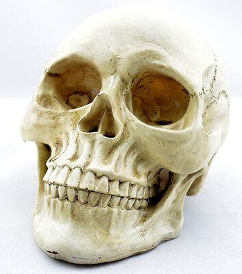 New Human Skull Replica Resin Model Medical Lifesize Realistic 1:1 SK03
