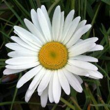 50+ SHASTA DAISY FLOWER SEEDS /  PERENNIAL / DEER AND RABBIT RESISTANT